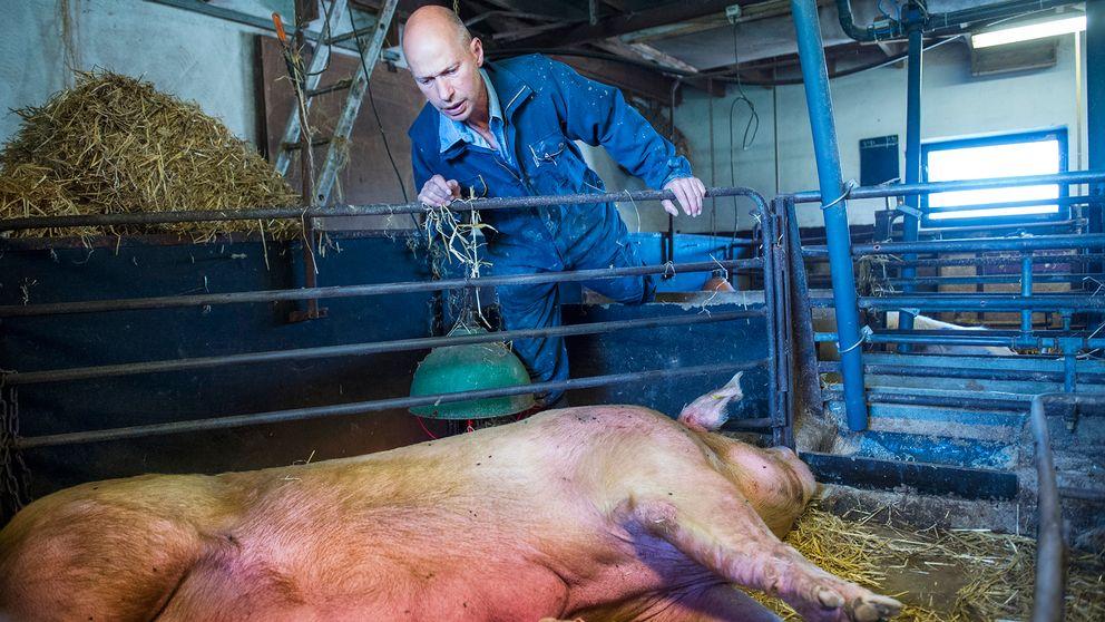 En bonde står och tittar ner på en grissugga, som ligger på sidan i en box.