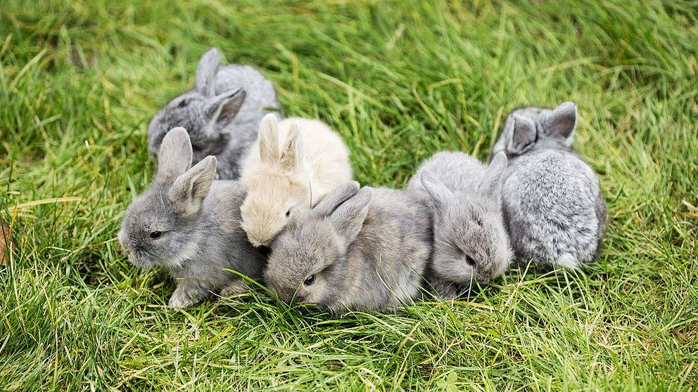 Flera små kaniner på en gräsmatta.