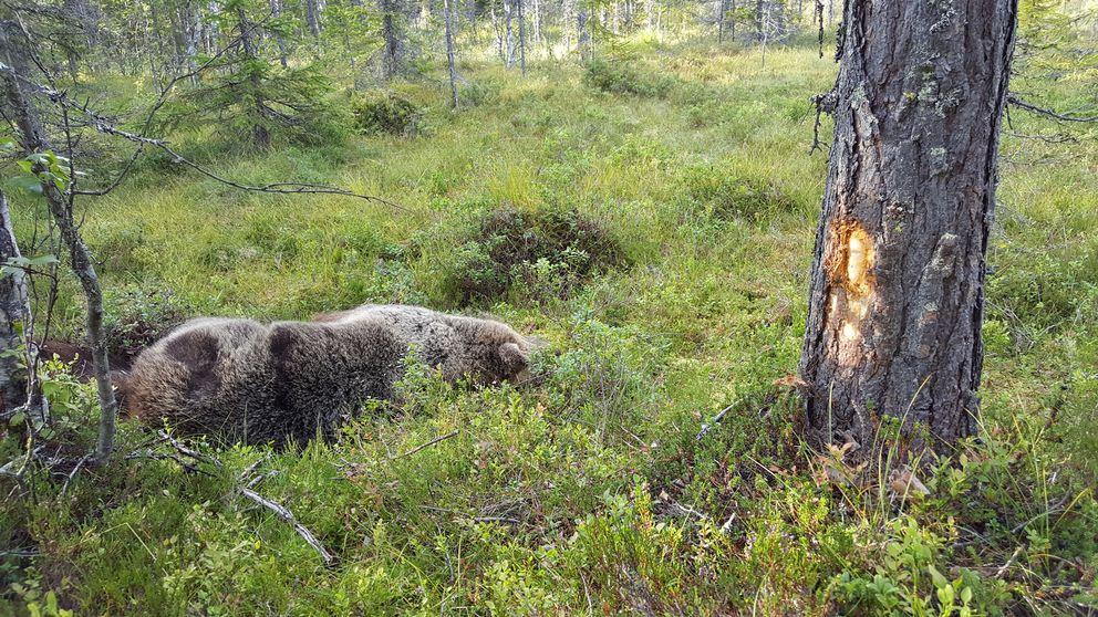 Björn ligger död framför en tall där barken skavts bort.