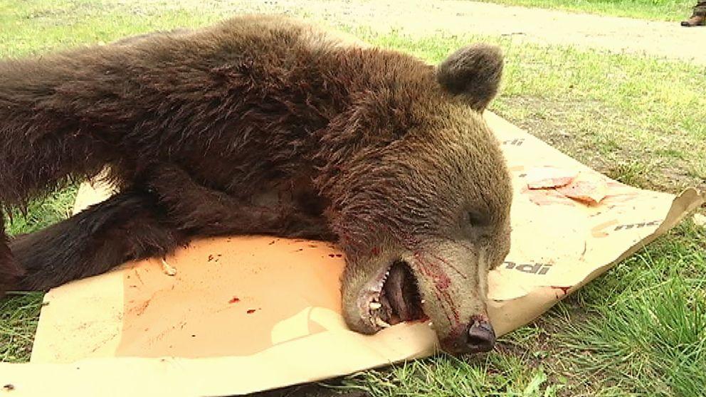 Arkivbild på skjuten björn
