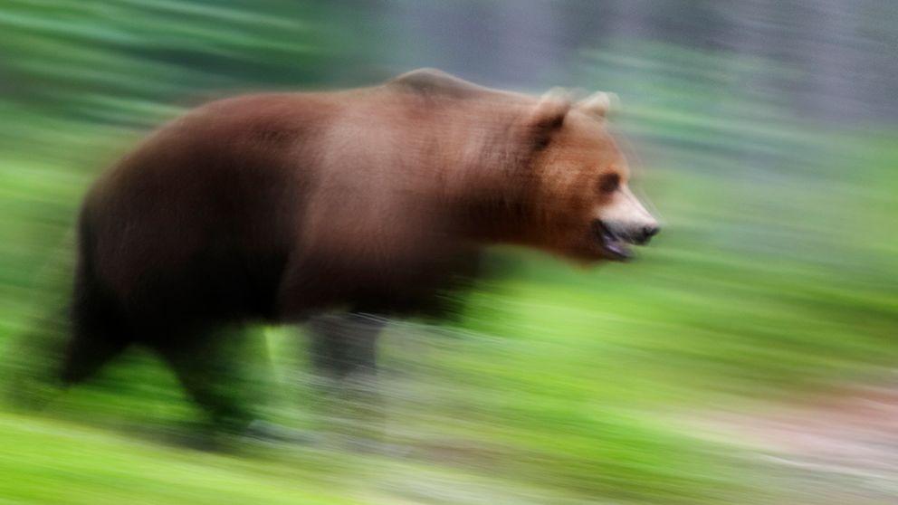 björn som springer