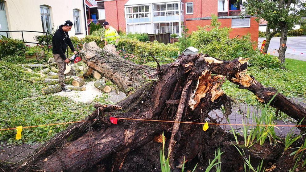 Ett femton meter högt träd föll efter en kraftig vindstöt på Portgränd i Trelleborg.