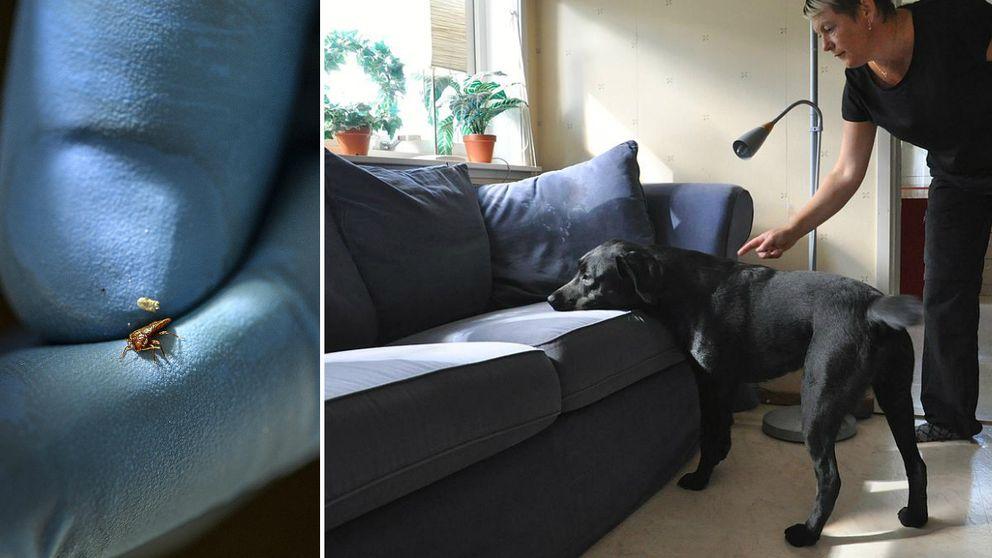 En hund letar efter vägglöss i en soffa.