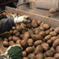 Personer plockar potatis.