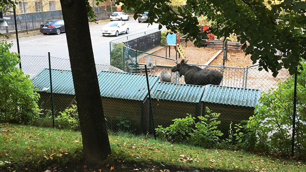 Älgkalven, som jagas av polisen, står jämte en lekplats i centrala Göteborg.