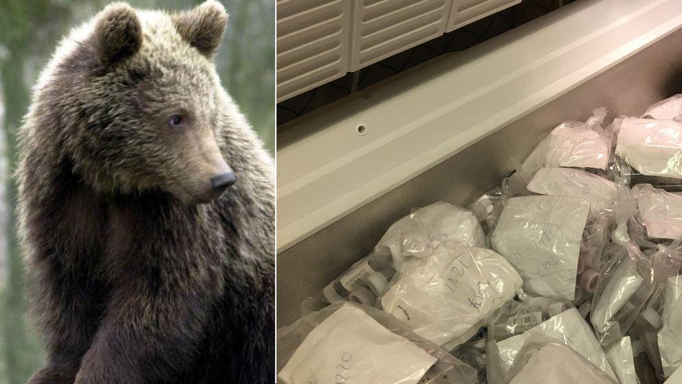 En björn och en frys som innehåller prover med misstänkt björnspillning