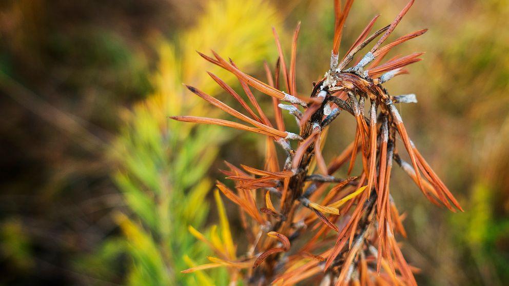 Diplodia pinea angriper och dödar tallens årsskott som får en brun färg.