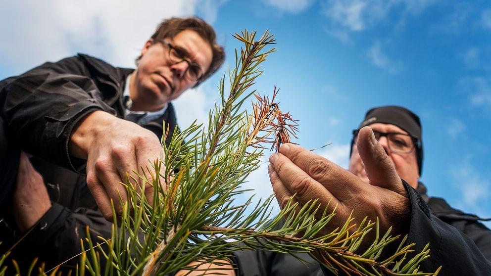 Erik Brun och Nils Frank tittar på en tallplanta som har drabbats av skadesvampen.