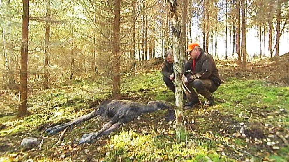 Den här kalven hittades död i samband med rådjursjakt förra söndagen