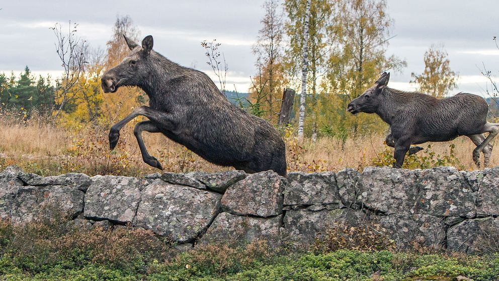 Bild från årets älgjakt i jaktlaget Svarten, Lusaskens ÄSO, Kristinehamn