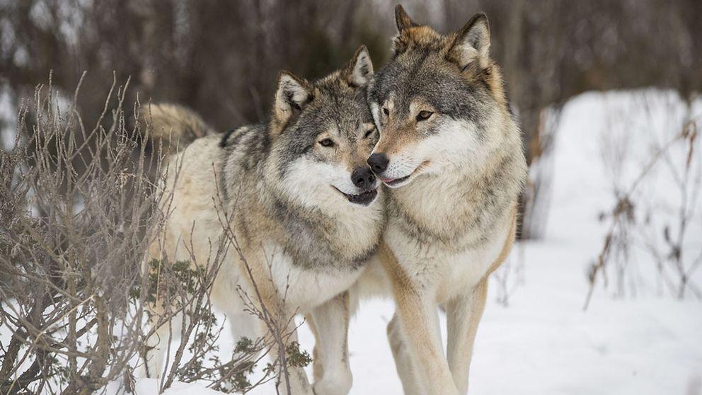 två vargar leker, vintermiljö