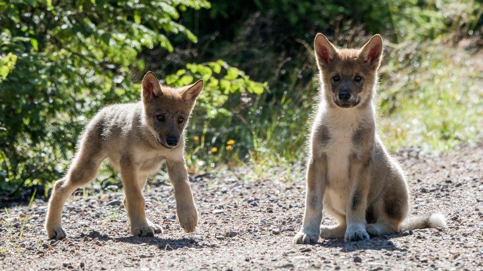 Oslo 20170717. To av de tre ulvevalpene som ble observert i Elverum kommune 18. juli. Foto: Terje Håheim / NTB scanpix / TT / kod 20520