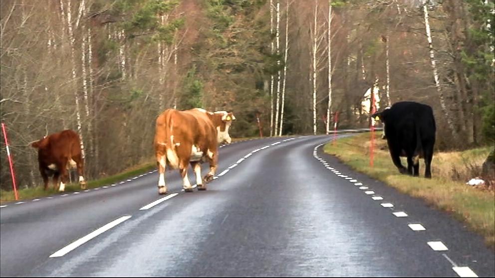 Helt plötsligt kom fyra kor gående på vägen.