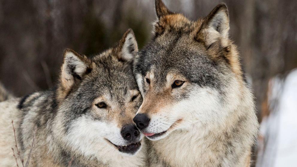 Arkivbild: Två vargar.