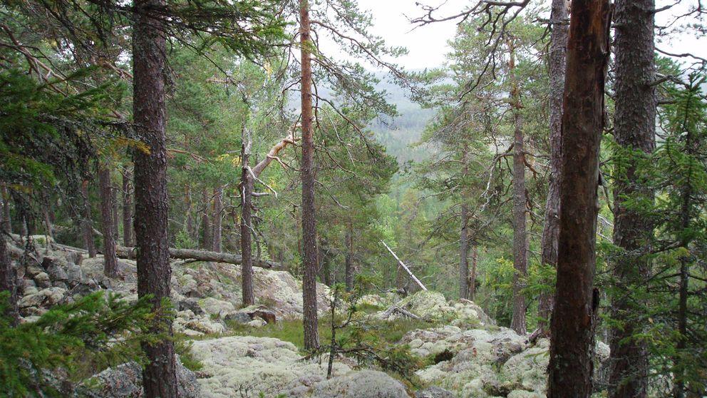 Skogsglänta med utsikt över nejden.