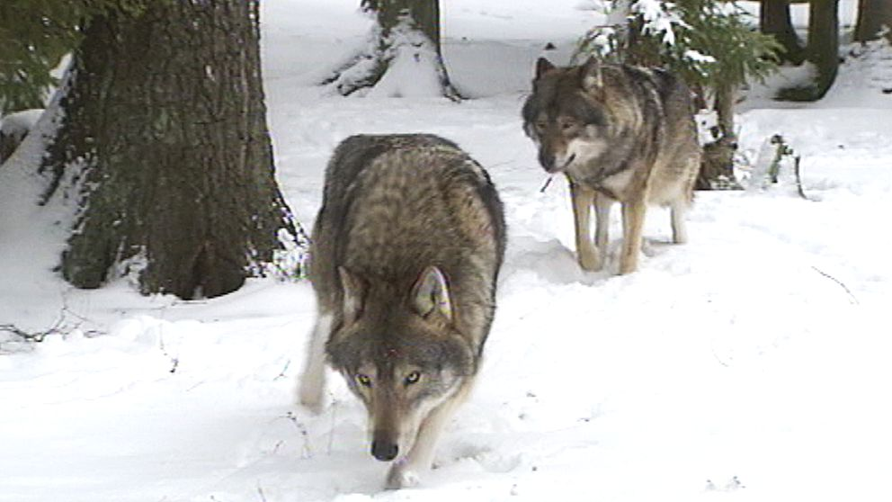 två vargar i snöig skog