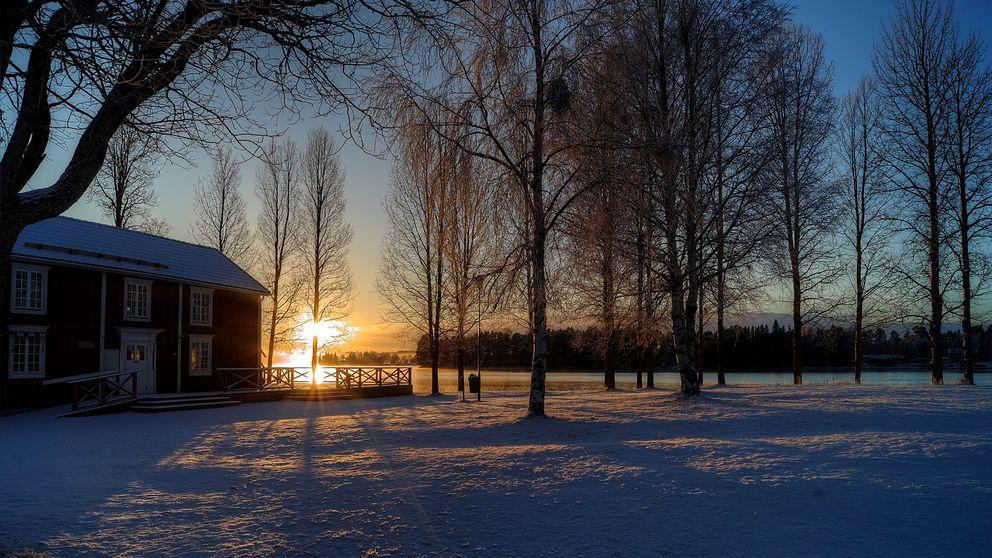 En lågt stående sol som lyser med sina orangea strålar genom en gles björkskog. Ett rött hus syns tillvänster i bild.