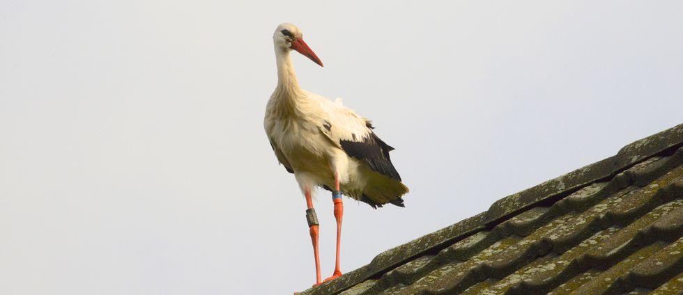 Stork på hustak