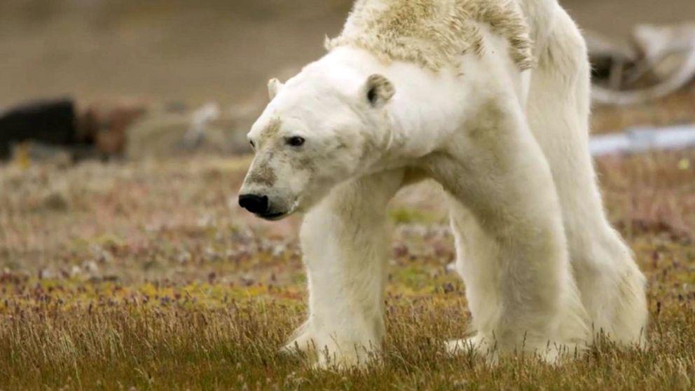 Utmärglad isbjörn letar efter mat i kanadensiska arktis