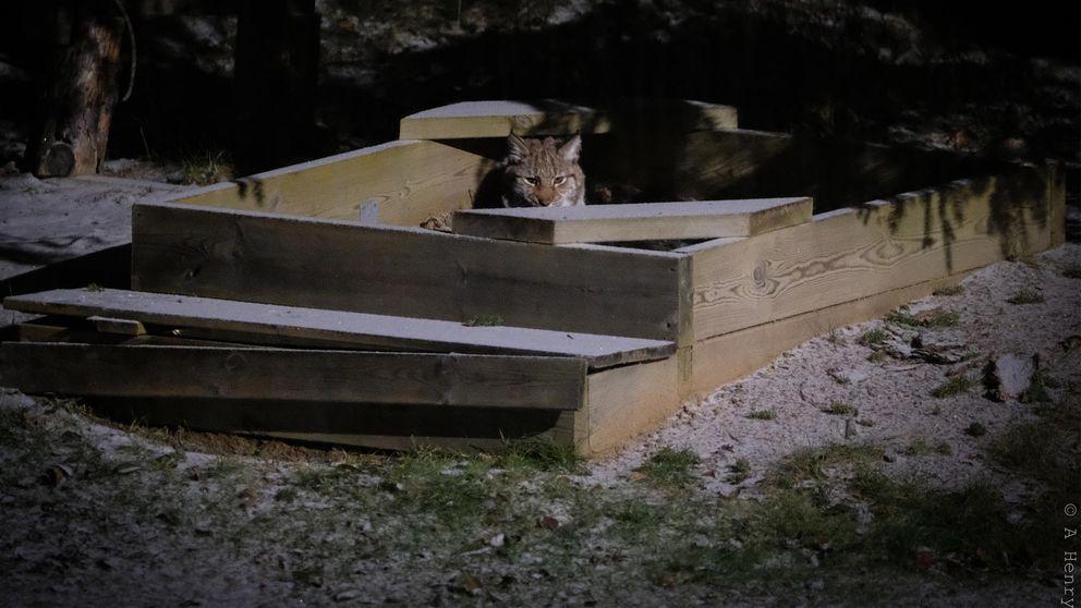 En lodjursunge som sitter i en sandlåda