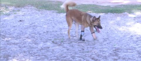 Hunden Cola testar sina nya proteser.