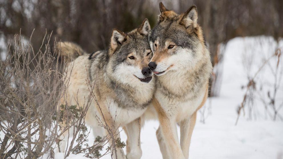 Jägare vill ha licensjakt på 63 vargar i Värmland