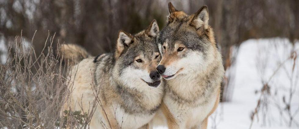 42 vargar får fällas i Norge