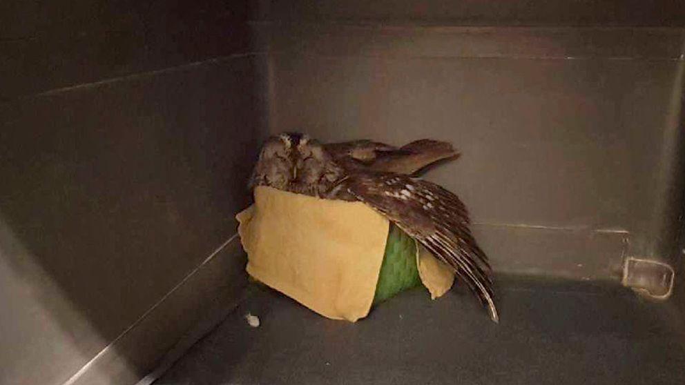 En kattuggla med höftproblem har fått en korg att bo i hos Stockholm vildfågel rehab.