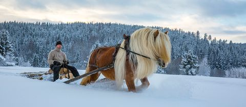 Timmerkörning med nordsvenska brukshästen Odin och hans ägare i Hög, Hälsingland.