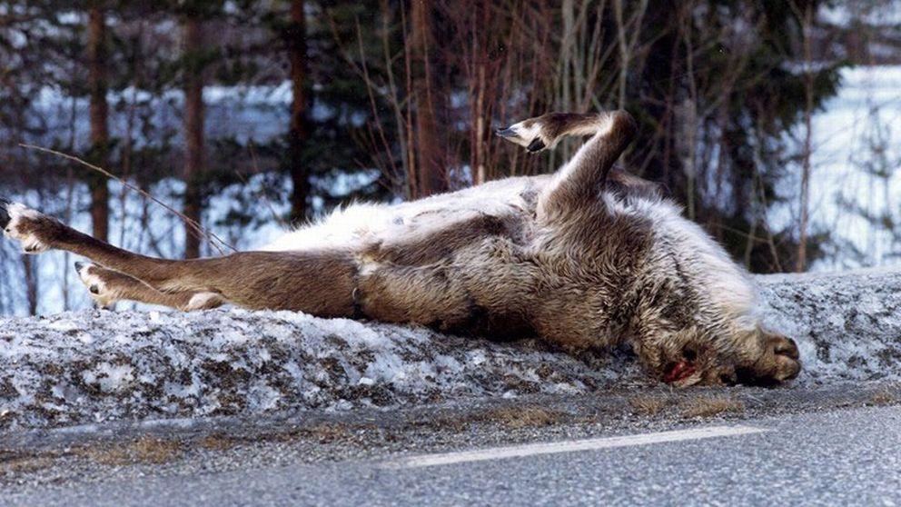 Död ren ligger vid vägkant