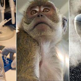 Tyska biltillverkare testade avgaser på apor och människor