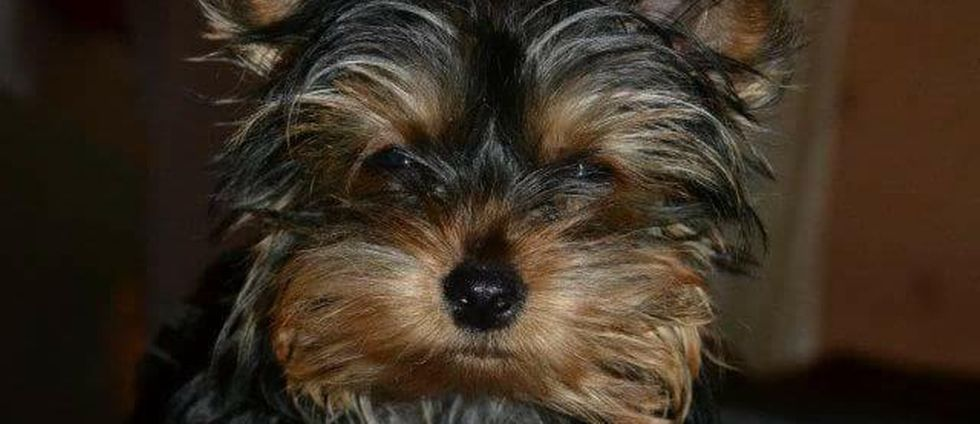 Yorkshireterrier Ellie