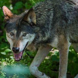 varg i skogen