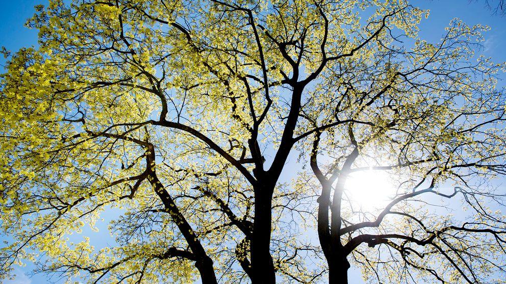 Vår, sol, träd, blad