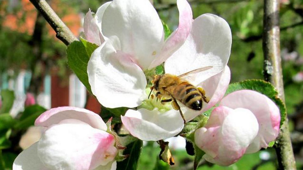 God pollinering av bin och humlor är avgörande för en rik skörd av frukt och bär.
