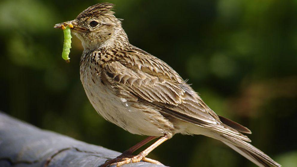 Sånglärkan är en av de fåglar som lever i jordbruksmiljöer och som minskar i antal, enligt fågelinventeringen.