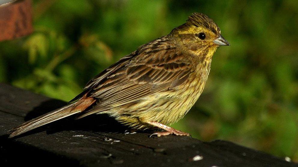 Gulsparven tillhör de fåglar som minskar i antal i Sverige, enligt fågelinventeringen.