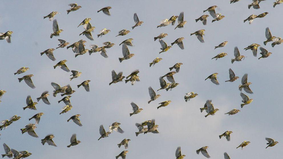 grönfinkar som flyger