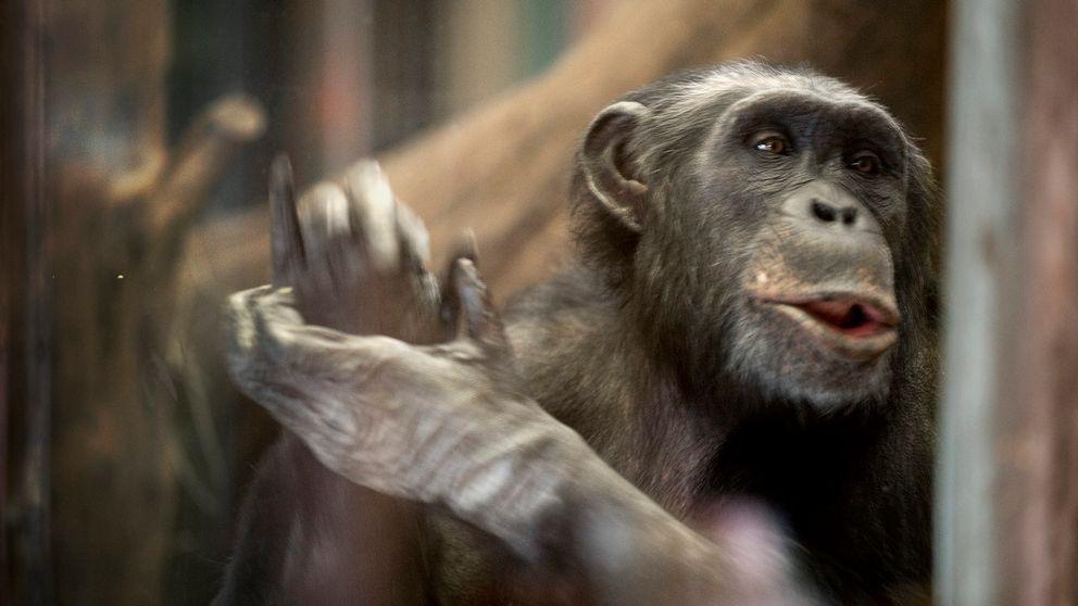 Schimpans från Furuviksparken.