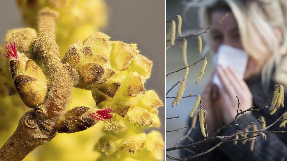 En inzoomad bild på pollenblomma. En kvinna som snyter sig.