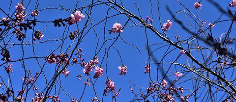 Nu har de Japanska körsbärs träden börjat blomma i Tollarp, den 20 april.Vi har klarblå himmel , sol och ca 20 grader.