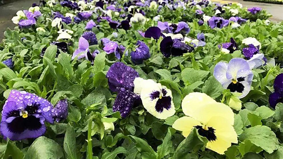 Ett gäng penséer i blått, violett, lime och vitt.