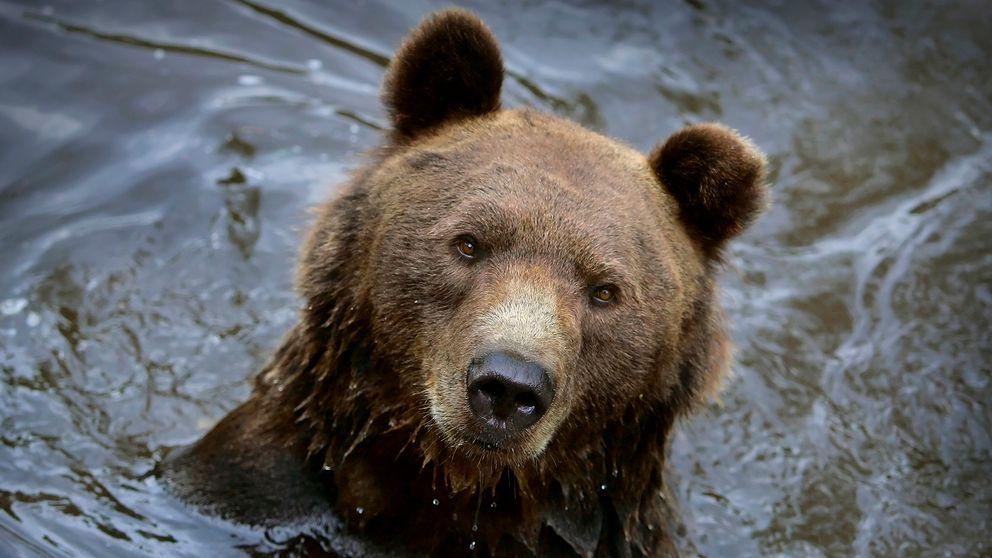 En närbild på en brunbjörn som badar.