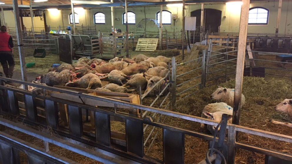 Flera av de dödade vargarna på Molstaberg.