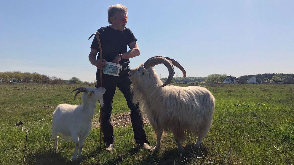 Getter är bra på att gnaga buskar och fåren är bra på att gnaga gräs och örter.