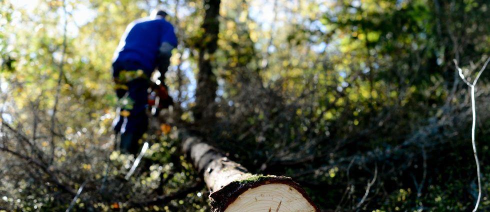 En man rensar grenar med motorsåg efter att ha fällt en gran i skogen.