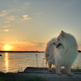 Balto njuter av en skön solnedgång i sköna maj. Bilden togs i Källskär, Sandarne i går 2018-05-24.