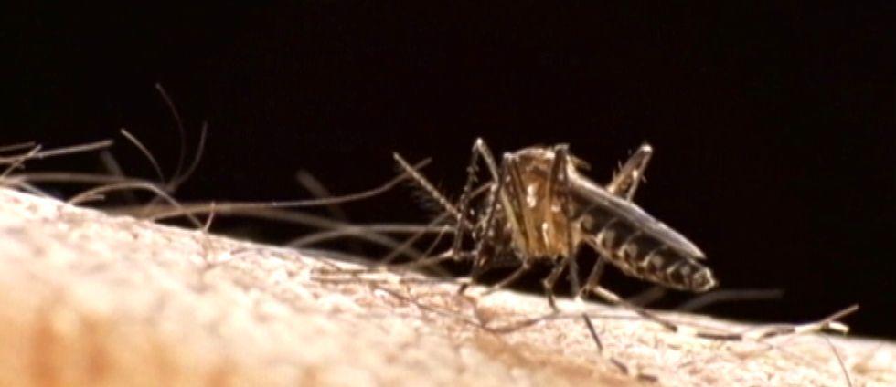 Övertorneå har lagt ner försöken på att få döda myggen med gift.