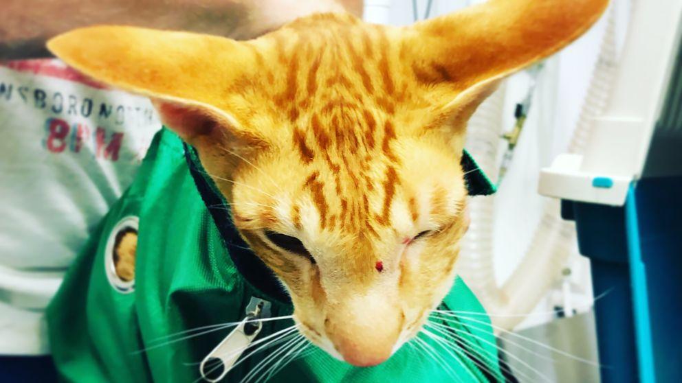 ORange katt med sår på nosen och grön sjukhusdräkt på.