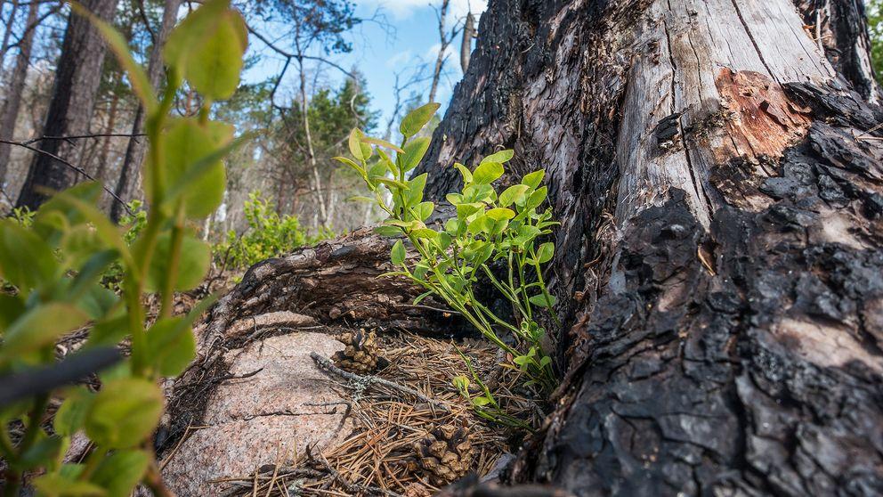 Blåbärsris växer vid bränd trädstam.